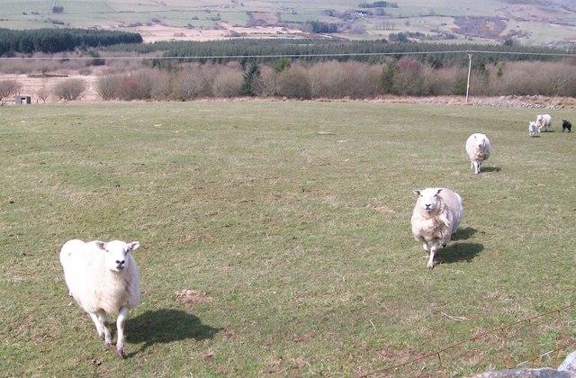 Wishful thinking le pecore corrono pretendendo che il contadino stia portando da mangiare